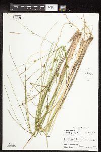 Image of Carex oligosperma