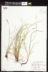 Image of Carex pensylvanica