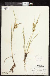 Image of Carex pseudocyperus