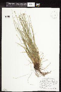 Image of Carex rosea