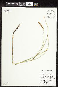 Image of Carex sartwellii