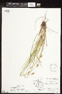 Image of Carex scoparia