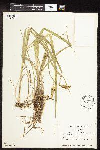 Image of Carex stipata