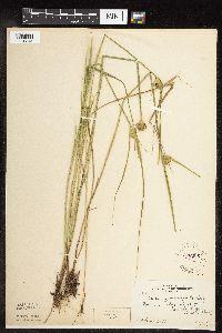 Image of Carex sychnocephala