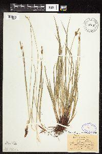 Carex torreyi image