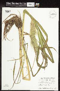Image of Echinochloa walteri