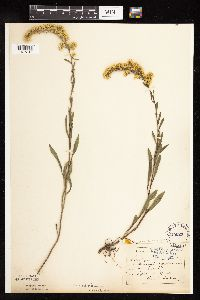 Solidago nemoralis subsp. decemflora image