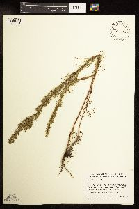 Image of Artemisia campestris
