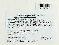 Image of Chaenotheca nitidula