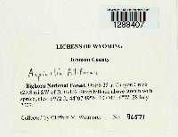 Aspicilia filiformis image
