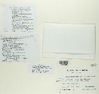 Bacidia russeola image