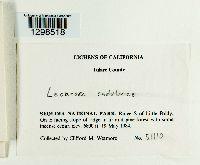 Lecanora cadubriae image