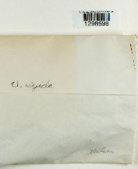 Umbilicaria rigida image
