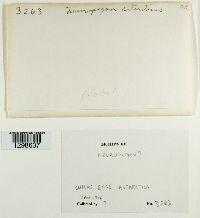Usnea antarctica image