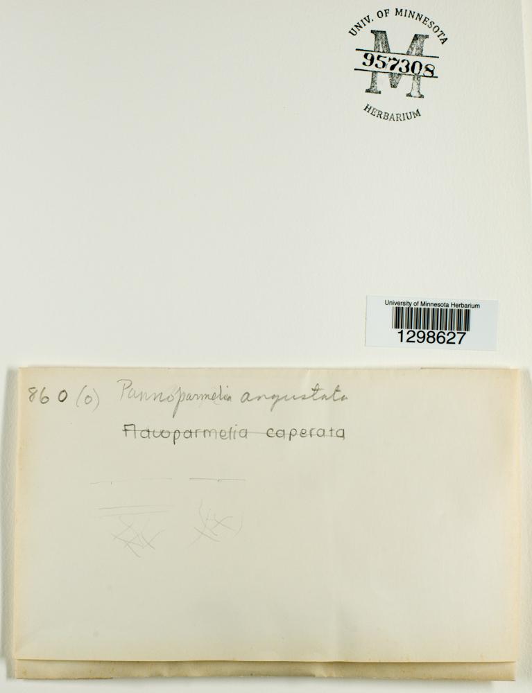 Pannoparmelia image