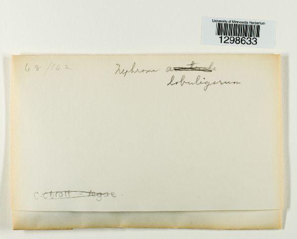 Nephroma lobuligerum image