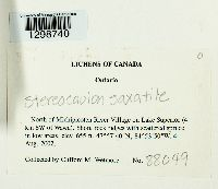 Stereocaulon saxatile image