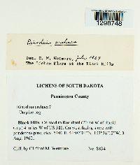 Rinodina archaea image