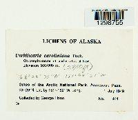 Lasallia caroliniana image