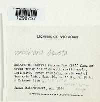 Umbilicaria deusta image