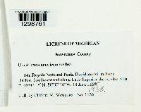 Umbilicaria americana image