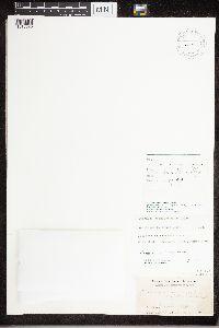 Rhizoplaca opiniconensis image
