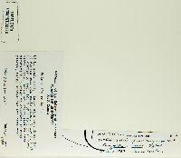 Potentilla recta image