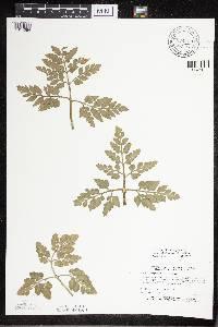 Botrychium multifidum image