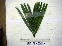 Areca catechu image