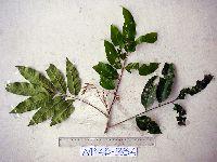 Image of Aglaia rimosa