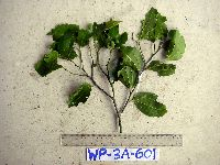 Image of Celtis philippensis