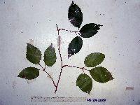 Image of Cayratia geniculata