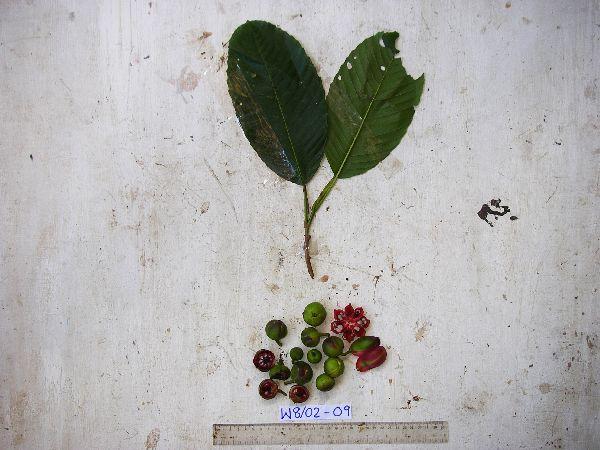 Dillenia castaneifolia image
