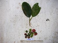 Image of Dillenia castaneifolia