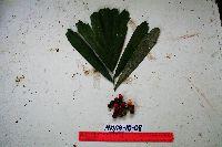 Image of Arenga microcarpa