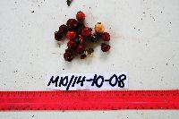Arenga microcarpa image