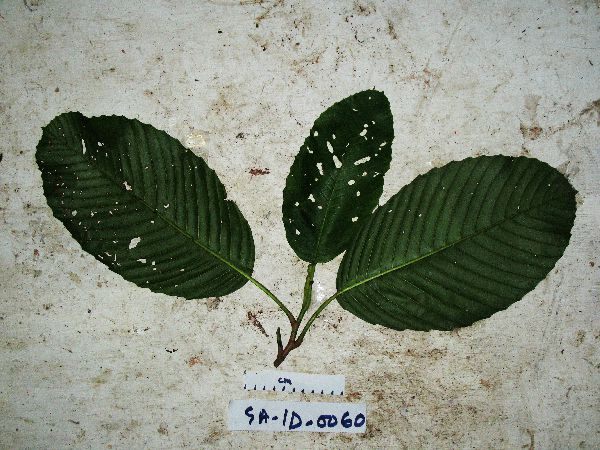 Dillenia papuana image