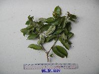 Image of Castanopsis acuminatissima