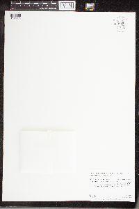 Apios americana image