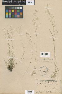 Agrostis idahoensis image