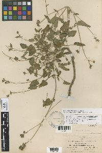 Allionia pratensis image