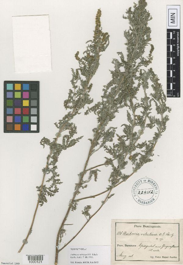 Ambrosia velutina image
