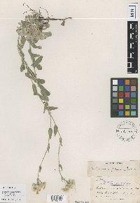 Image of Antennaria foliacea