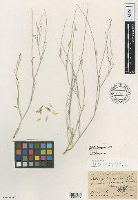 Image of Astragalus acerbus