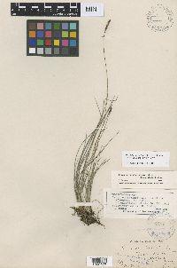 Carex scirpoidea image