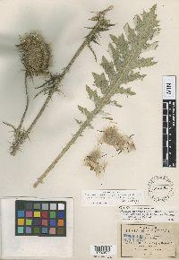 Cirsium acantholepis image