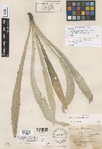 Cirsium breweri image