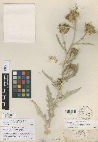Image of Cirsium howellii
