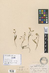 Claytonia flava image