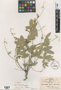 Cologania broussonetii image